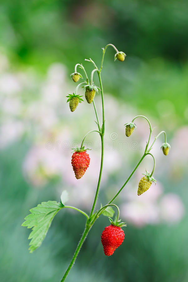Wild strawberries twig with red berries