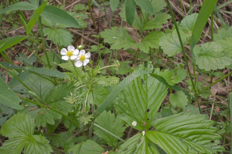 Wild strawberries white flowers hides in thick grass royalty free stock image
