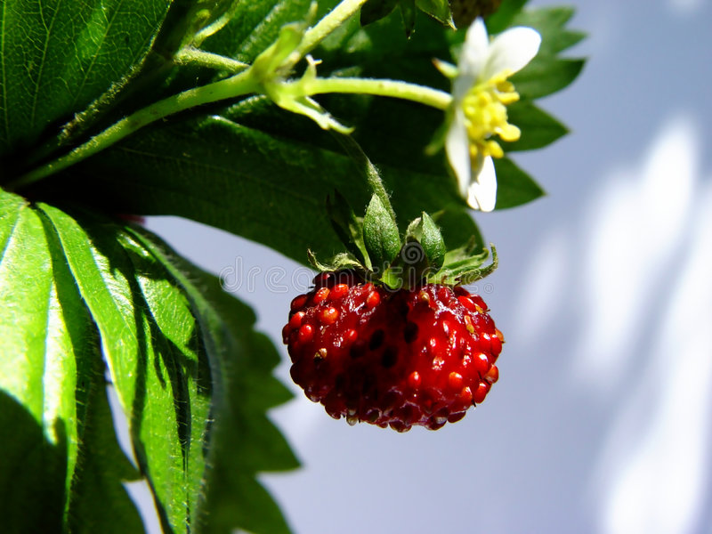 Download Wild strawberry stock photo. Image of strawberries, dinner - 10764