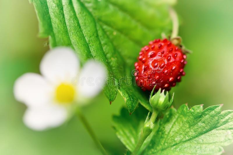 Download Wild strawberry stock image. Image of natural, nature - 26259913