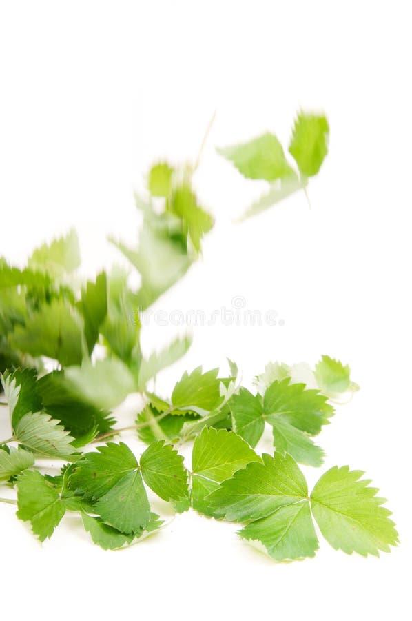 Download Wild strawberry stock photo. Image of herbs, improvement - 26424156