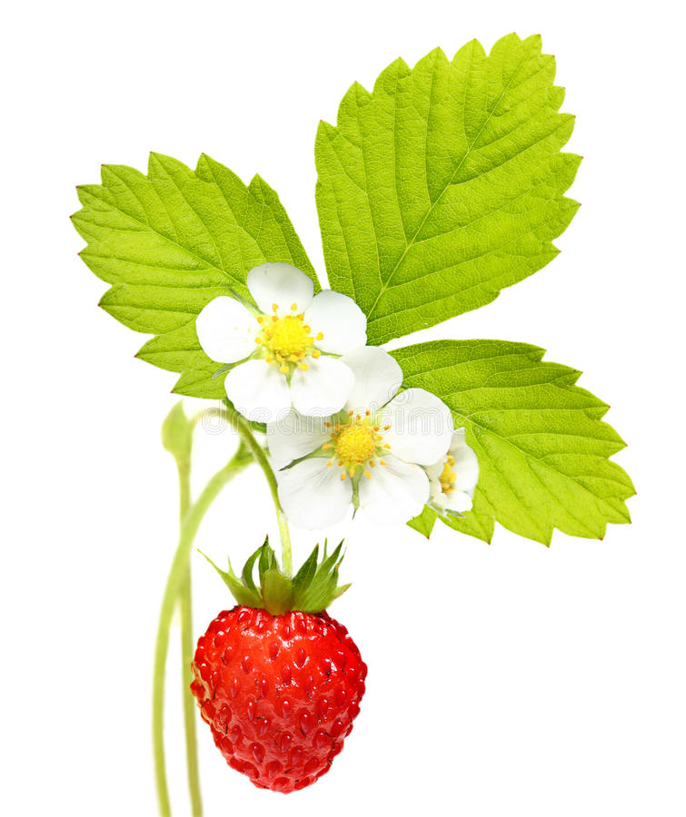 Download Wild strawberry stock image. Image of circle, blue, berry - 28983341