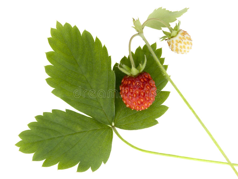 Download Wild strawberry stock photo. Image of slender, nice, color - 5024764