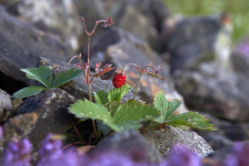 Wild strawberry on a background of a stone, a beautiful red berry royalty free stock image
