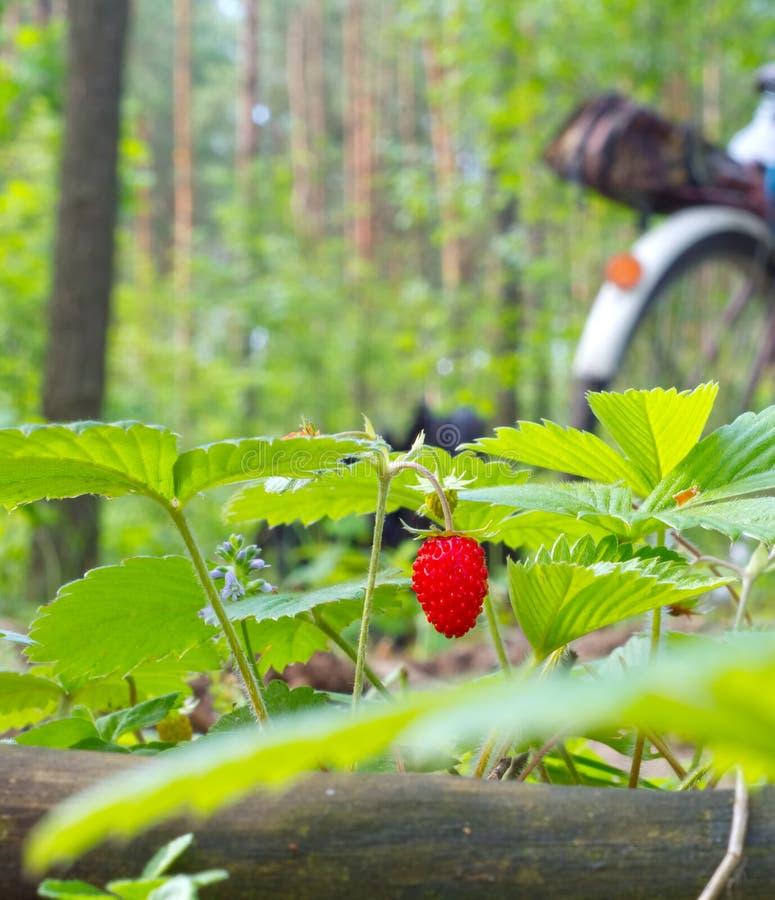 Wild strawberry berry stock image