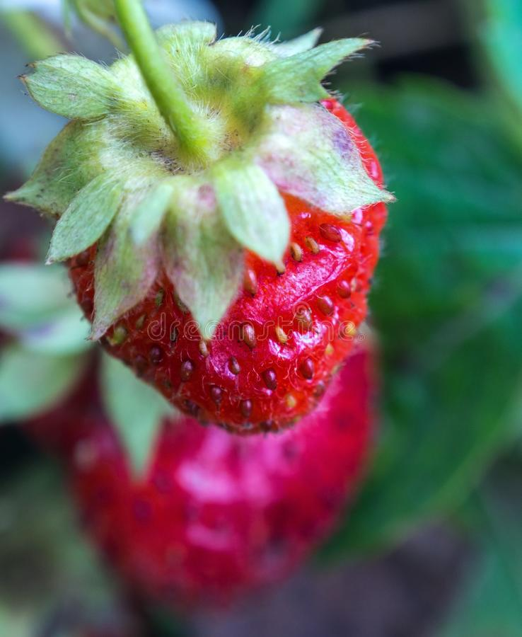 Wild strawberry berry growing in natural environment. stock photo