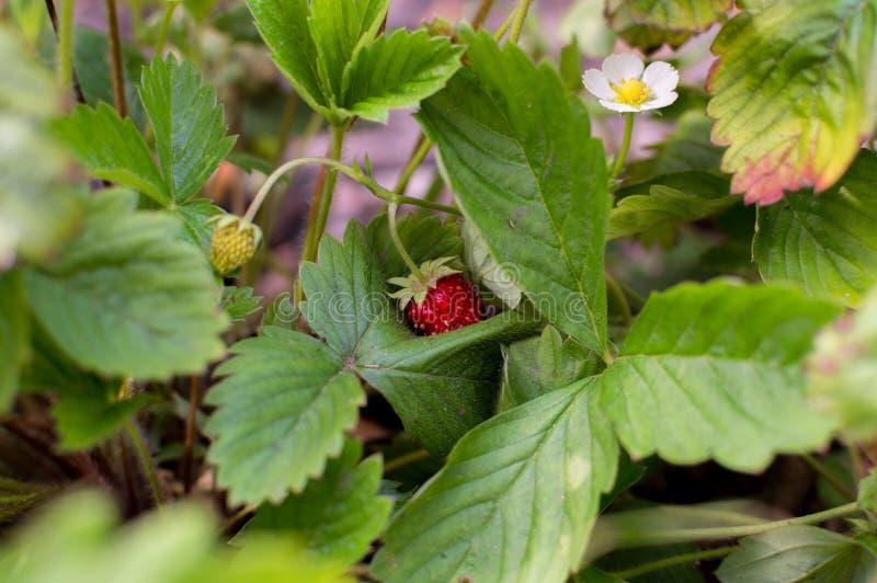 Wild strawberry bush with fruits.  stock photo