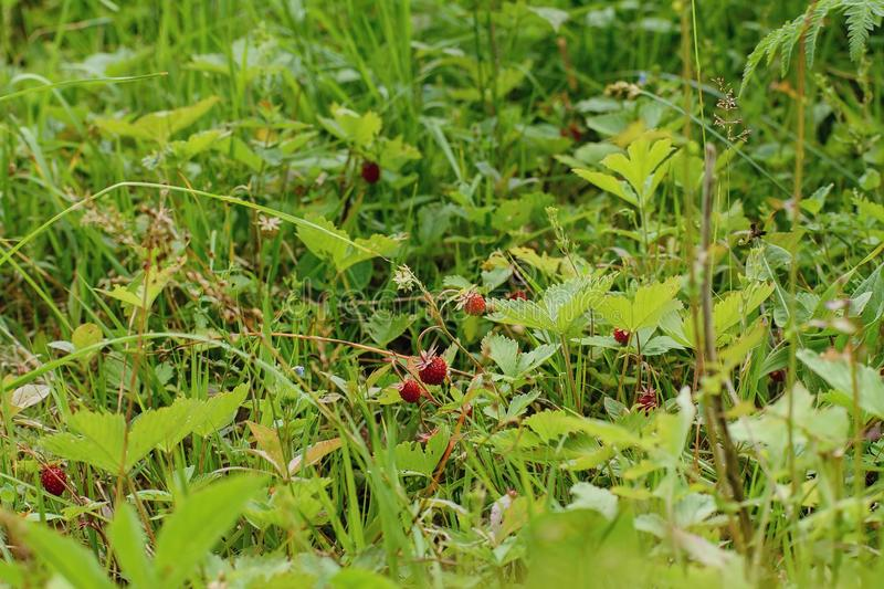 Wild strawberry on a clearing... Wild strawberry grows in the wood on a small clearing royalty free stock photos