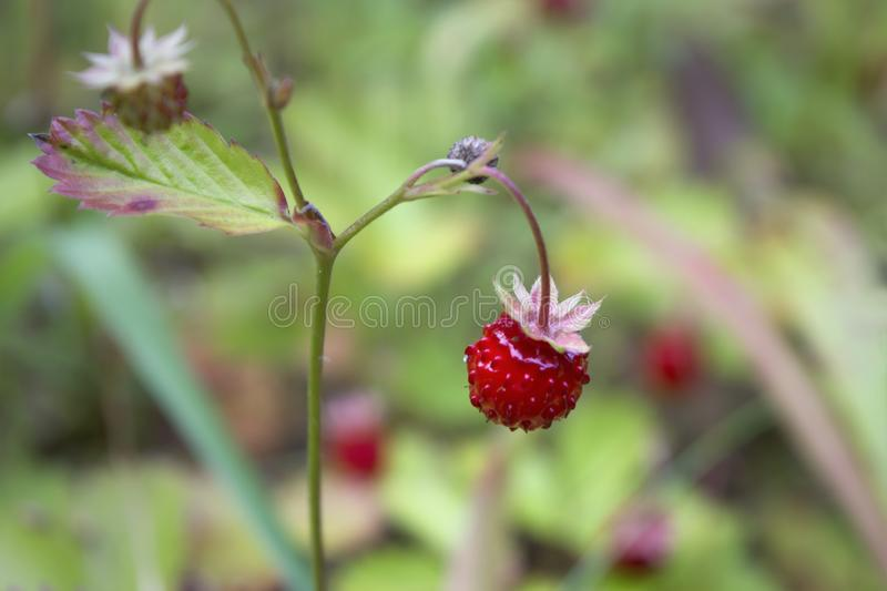 Wild strawberry in close-up. Close-up of delicious red wild strawberries growing in natural environment. Narrow depth of field royalty free stock photography