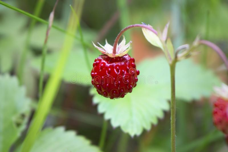 Wild strawberry in close-up. Close-up of delicious red wild strawberries growing in natural environment. Narrow depth of field stock images