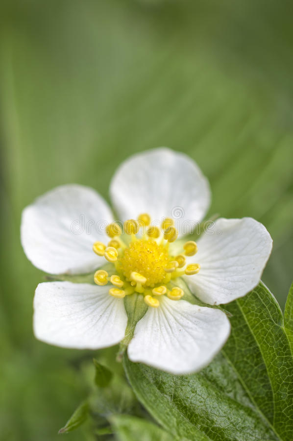 Wild strawberry flower. A macro shot of white blossoming wild strawberry flower with yellow stamens and green leaves in spring royalty free stock image