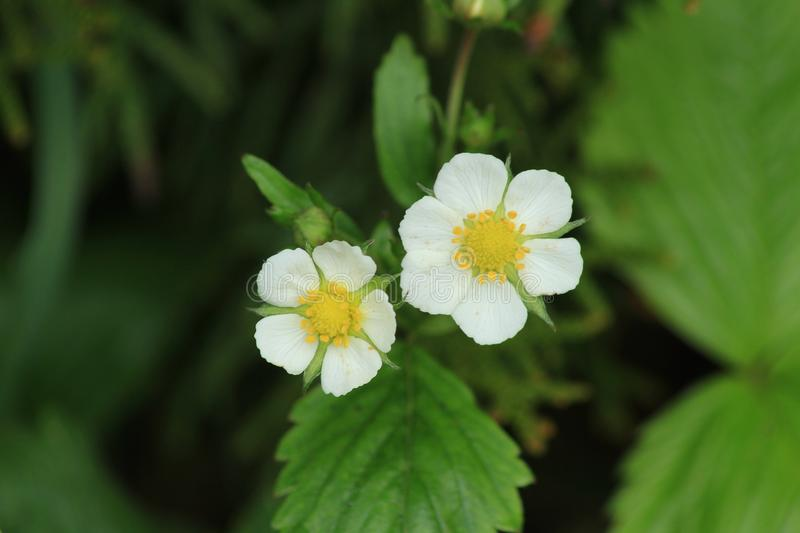 Wild strawberry flowers. Fragaria vesca. Green background. stock photo