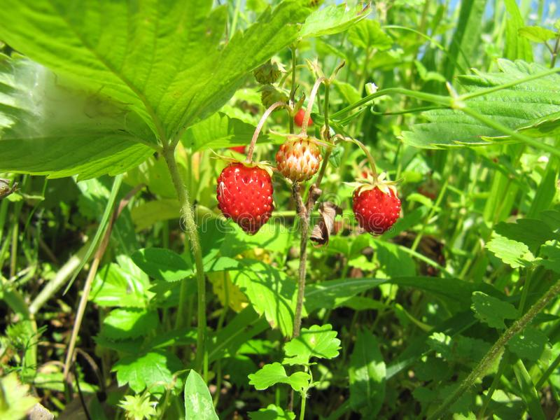Wild strawberry forest red grass green sky wild nature royalty free stock images