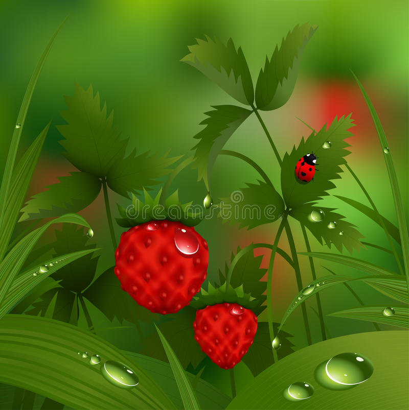 Wild strawberry in the morning forest. Illustration of wild strawberry among grass with dew drops vector illustration