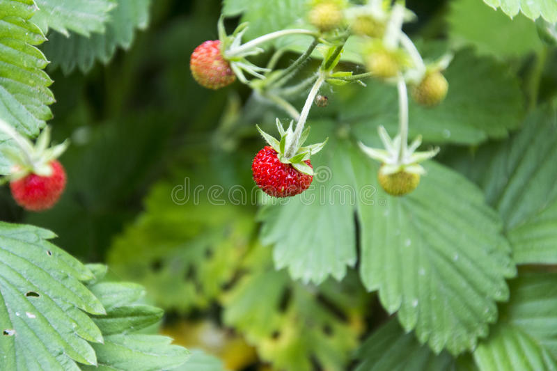 Wild strawberry on the stalk stock photography