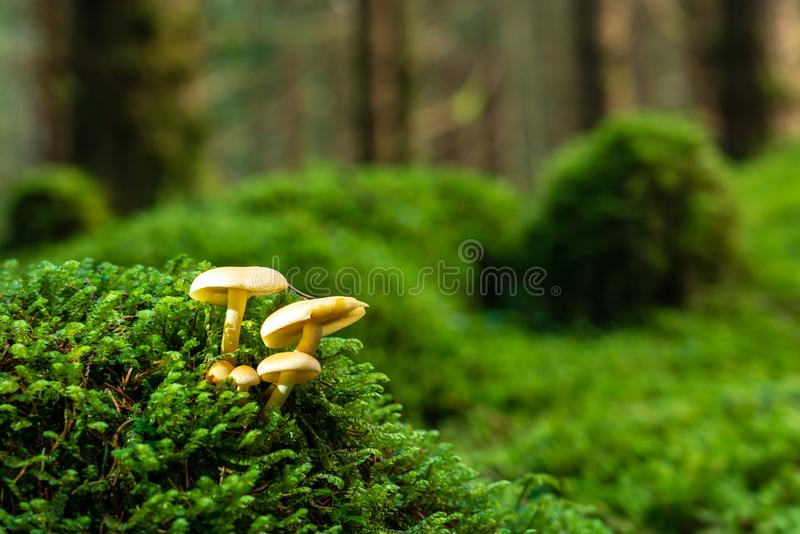 Wild Sulfur tuft mushroom UK. A Sulfur Tuft mushroom growing in a pine forest in Perthshire Scotland, along the Cateran Trail royalty free stock images