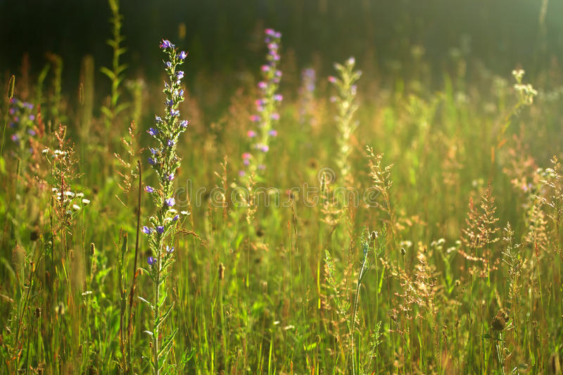 Wild summer meadow royalty free stock image