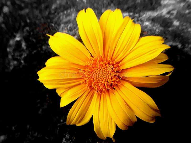 Wild Sunflower with Dark Background. Beautyfull srilankan Wild Sunflower With Dark Background stock photos