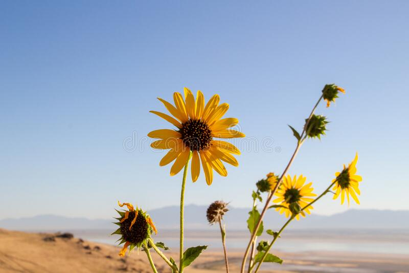 Wild Sunflower, Helianthus annuus in the fields of Antelope Island, Great Salt Lake, Utah, USA.  stock photos