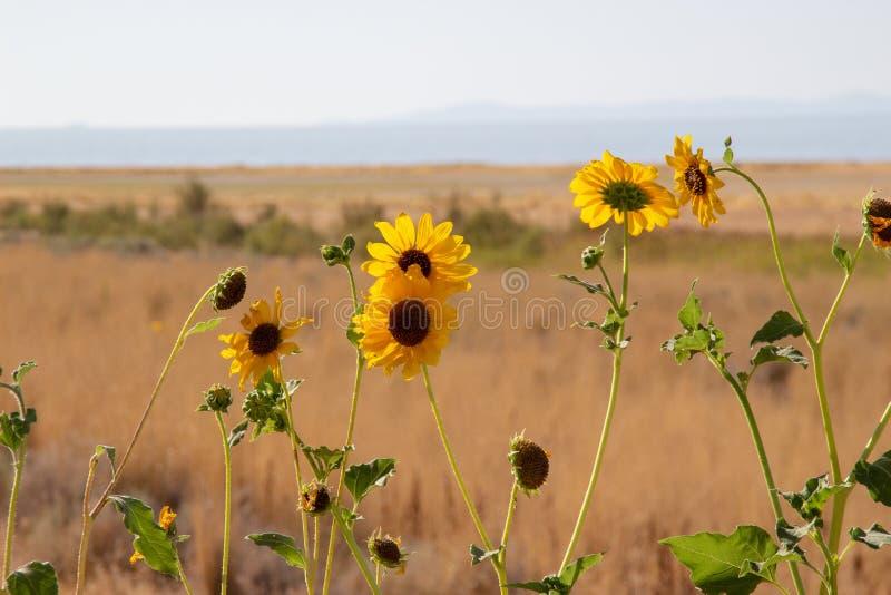 Wild Sunflower, Helianthus annuus in the fields of Antelope Island, Great Salt Lake, Utah, USA. Rural landscape with Wild Sunflower, Helianthus annuus in the stock image