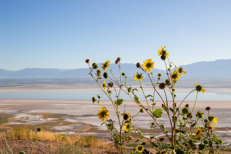 Wild Sunflower, Helianthus annuus in the fields of Antelope Island, Great Salt Lake, Utah, USA. Rural landscape with Wild Sunflower, Helianthus annuus in the stock photos