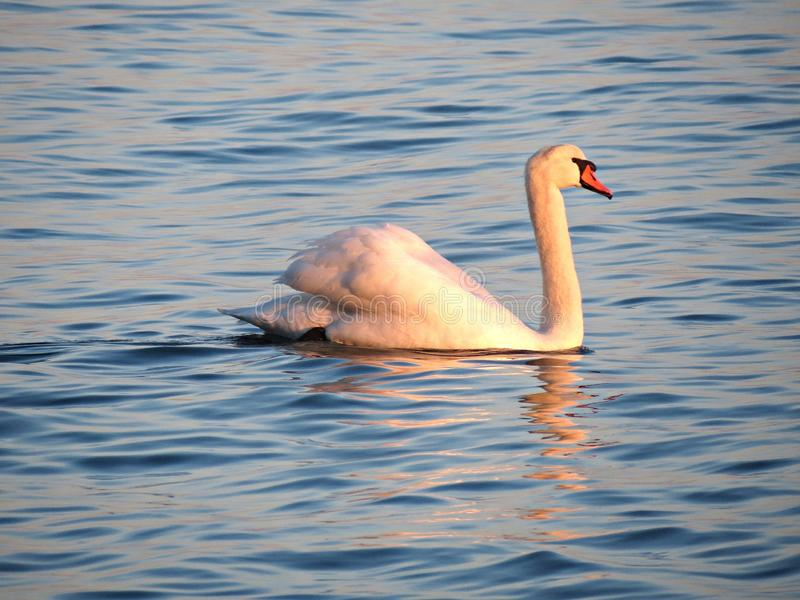 Wild swan swimming on blue lake water at sunset, swans on pond, nature series. Wild swan swimming on blue lake water at sunset, swans on pond. Nature series royalty free stock photography
