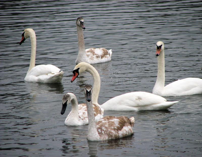 Wild swans float in the pond. Wild swans float in the autumn pond royalty free stock photo