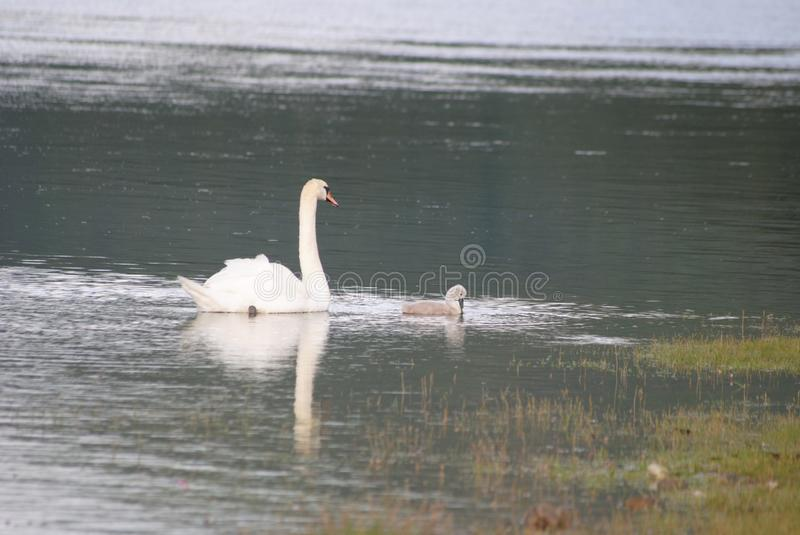 Wild swans. Mother & child - scotland stock images