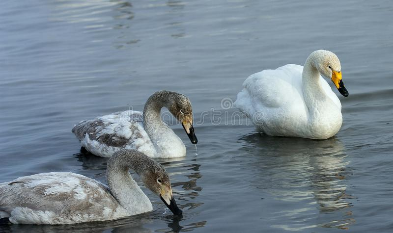 Wild Swans. Overwinter on an ice-free lake in Siberia stock images