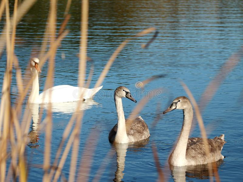 Wild swans swimming in the tranquil forest lake royalty free stock photos