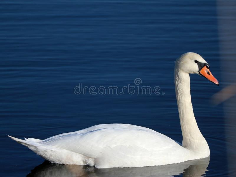 Wild swans swimming in the tranquil forest lake royalty free stock photo