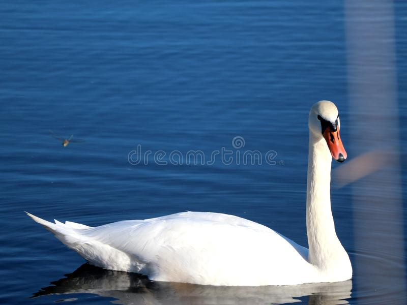 Wild swans swimming in the tranquil forest lake royalty free stock photography