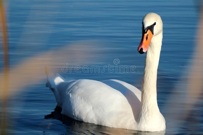 Wild swans swimming in the tranquil forest lake stock image