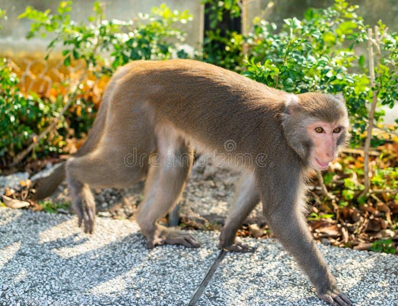 Wild Taiwanese Formosan rock macaque monkey walking stock photography