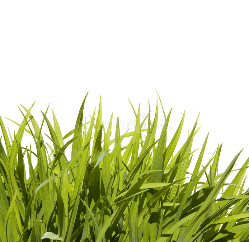 Wild tall grass stock image image of border blue grass for Tall border grass
