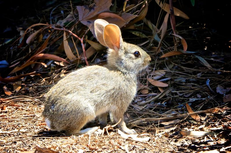 Baby bunny. Wild tan baby bunny stands still alerted to danger royalty free stock image