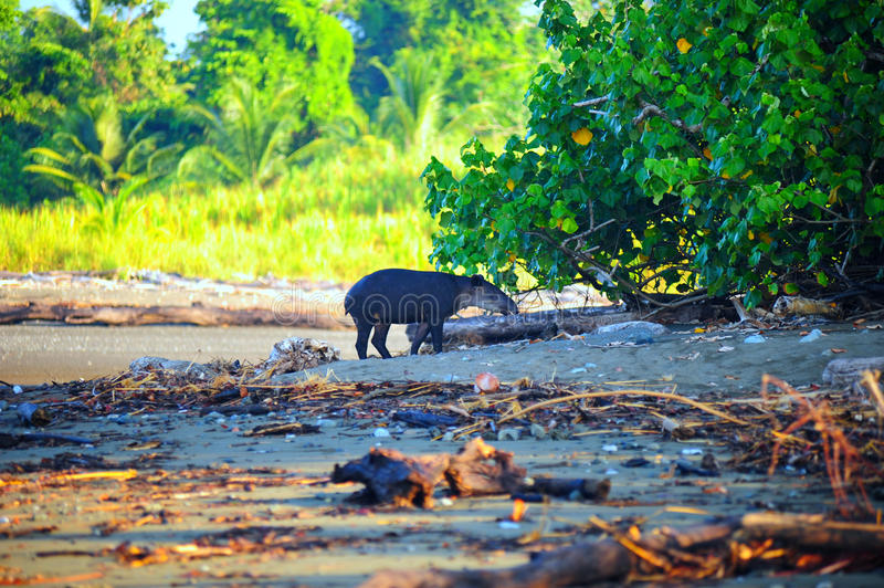 Download Wild Tapir stock photo. Image of eating, corcovado, costa - 13164932