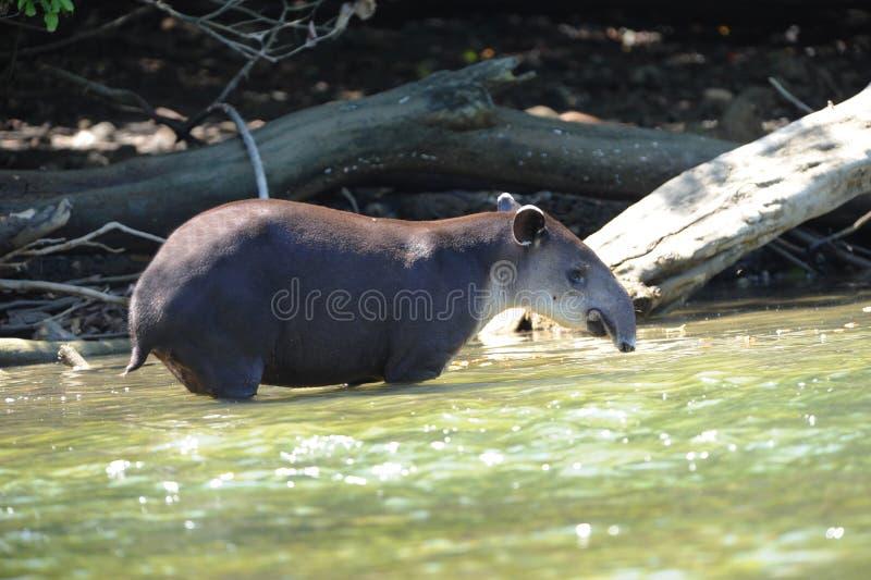Download Wild Tapir In River,corcovado ,costa Rica Stock Photo - Image: 19337072
