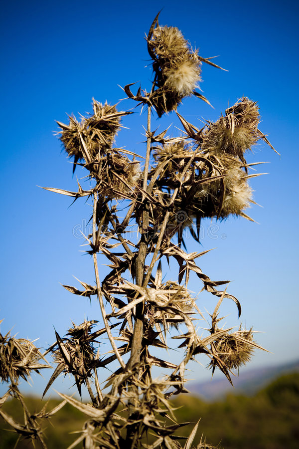 Download Wild teasel stock photo. Image of outside, habitat, dried - 1731374