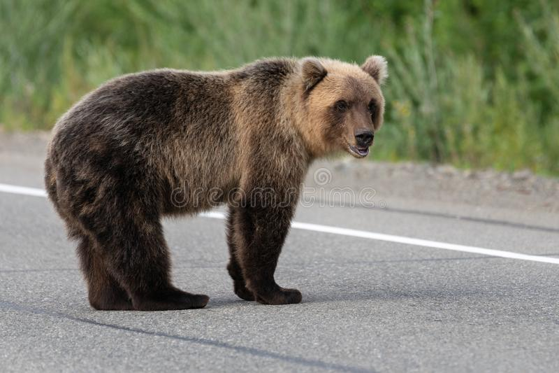 Wild terrible Kamchatka brown bear standing on asphalt road royalty free stock images