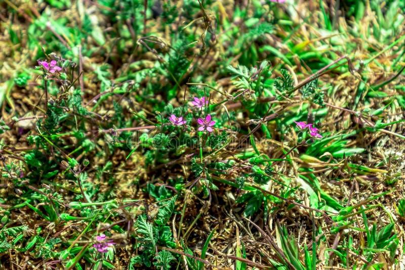 Wild texas flowers. Purple wild flowers in a field in west texas stock image
