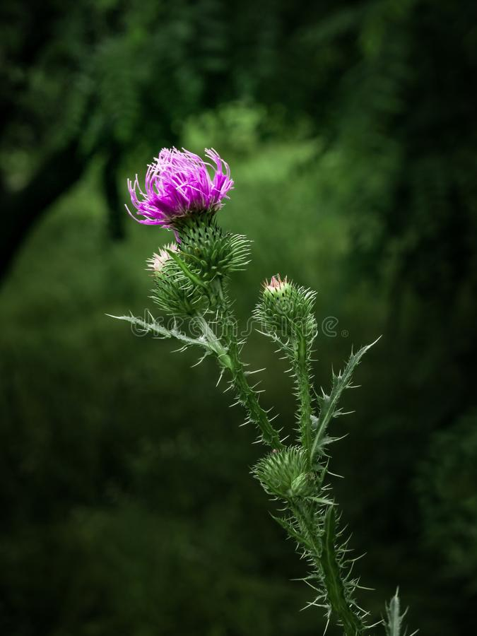 Wild thistle flower in bloom in spring. Wild thistle with a blooming pink flower in the daytime on a dark green blurred background royalty free stock photos