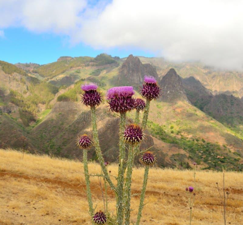 Free Wild Thistle Flowers Onopordum Carduelium, Gran Canaria Royalty Free Stock Photo - 42083625