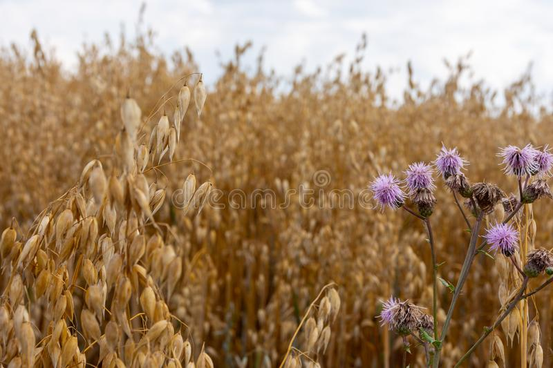 Wild thistle plant growing amongst golden grass stock photography
