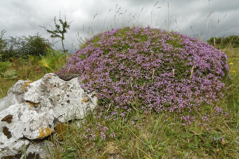Wild Thyme. Ant Hill covered in Wild Thyme - Thymus polytrichus Mendip Hills, Somerset, UK stock image