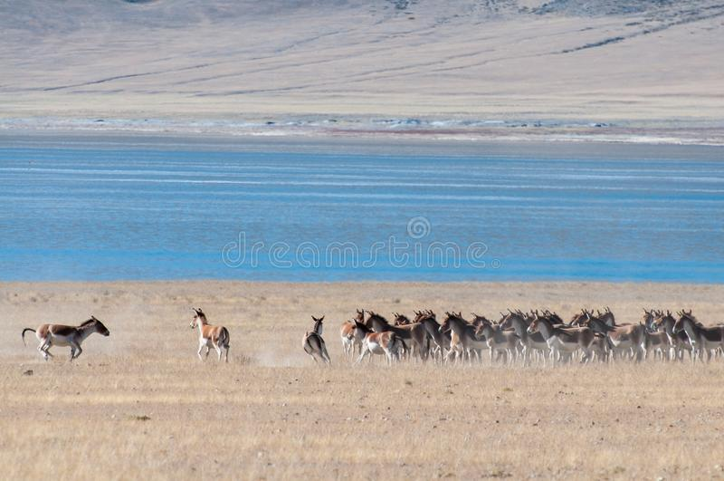 Wild Tibetan donkey royalty free stock photography