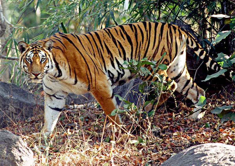 Download Wild Tiger stock image. Image of legs, pench, stalk, wild - 1179515