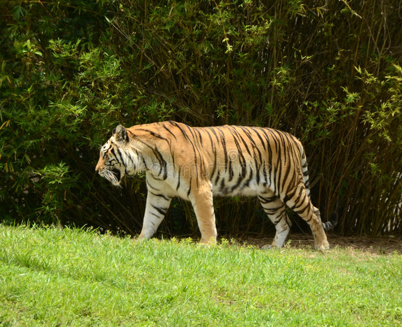 Download Wild tiger stock photo. Image of tiger, threatened, mammal - 26288354