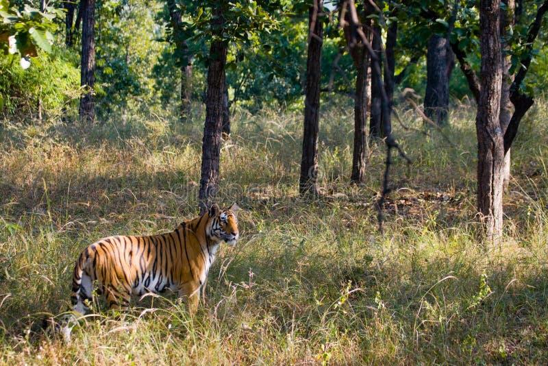Wild tiger in the jungle. India. Bandhavgarh National Park. Madhya Pradesh. An excellent illustration stock photo