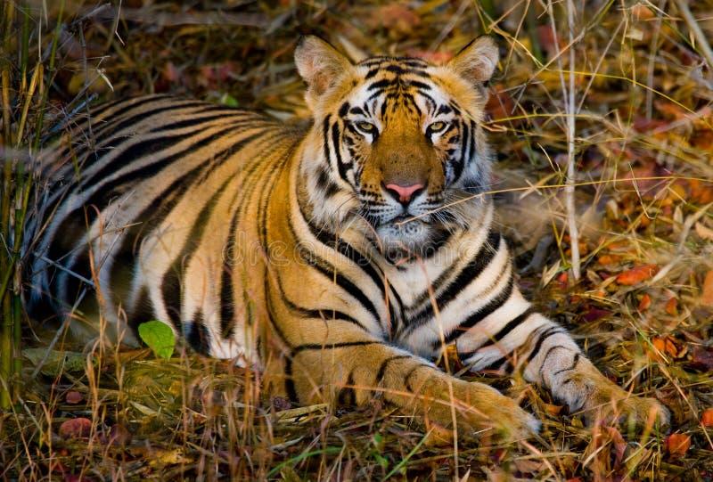 Wild tiger lying on the grass. India. Bandhavgarh National Park. Madhya Pradesh. An excellent illustration stock image